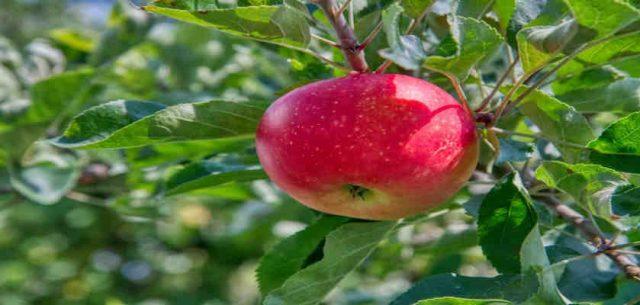 How Apple Cider Vinegar Improve Your Health?